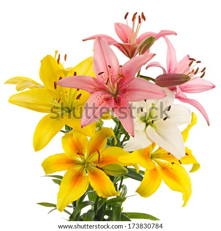 Flowers of varicolored lilies isolated on a white background - stock photo