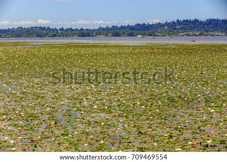 Flowers of water lilies on Lake Washington in Kirkland, WA