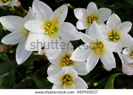 flowers of Zephyranthes candida