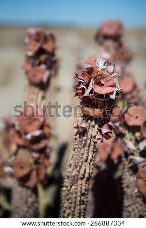 Flowers on a Hoodia plant in the Kalahari - stock photo