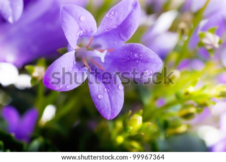 Flowers on a white background, dark blue hand bells with dew drops - stock photo