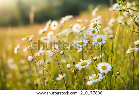 Flowers on field. Natural background - stock photo
