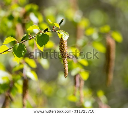 flowers on the birch tree in nature