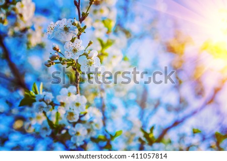 flowers on twig of cherri tree floral background instagram stile. - stock photo