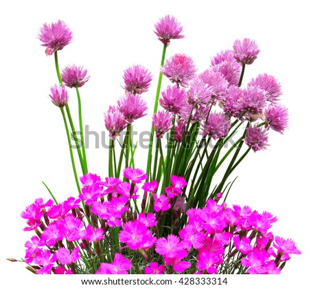 Flowers onion chives and carnation isolated on white background - stock photo