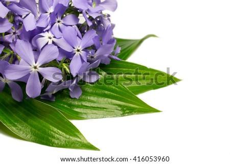 Flowers phlox, isolated on white background - stock photo