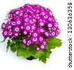 Flowers: Pink and white Cineraria . Home plant - stock photo