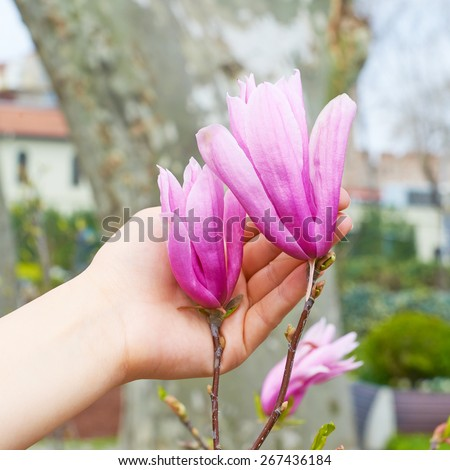 Flowers pink magnolia in hand - stock photo