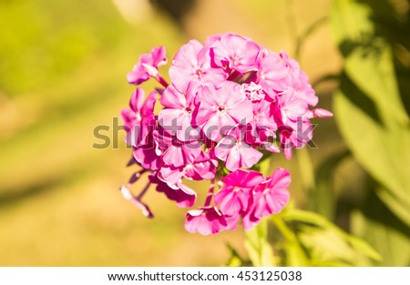 flowers,pink,petals,small,garden,nature,amazing,lovely,fresh,garden flowers,spring,summer,blooming flower,pink flowers sun,purple flower,lila ,lily flowers,leaves,green,natural,wonderful  pink flower - stock photo