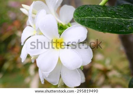 flowers plumeria tropical blossom plant nature wall green wall background isolated color