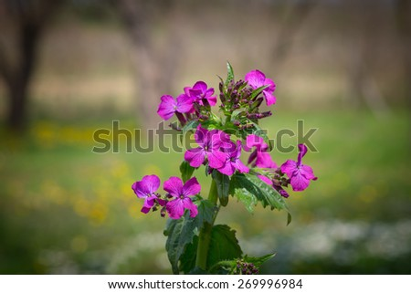 Flowers purple Lunaria biennis, bloomed in the garden - stock photo