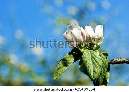 Flowers quince on a branch - stock photo