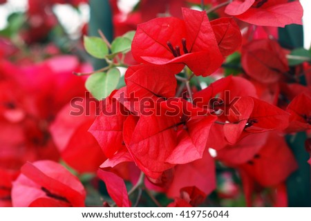 Flowers red bougainvillea - stock photo