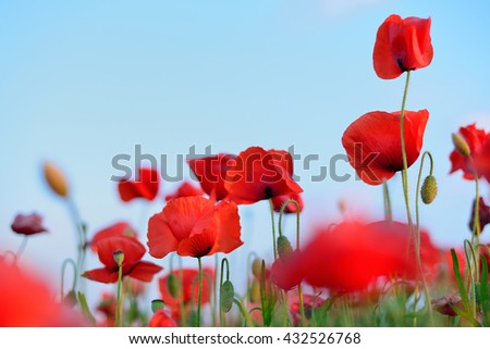 flowers red poppies. flower field. blue sky. Close-up of a flower. background - stock photo