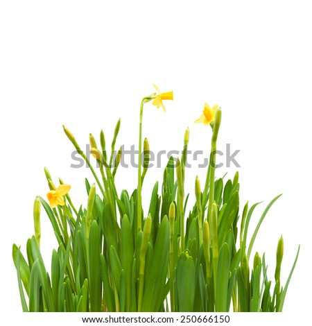 flowers spring bloom daffodils isolated white background - stock photo