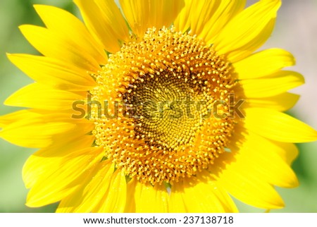 flowers sunflowers yellow background nature