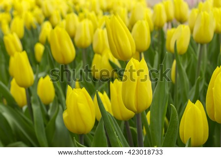 Flowers, tulips,fresh colorful tulips in warm sunlight