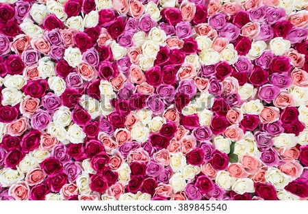 flowers wall background with amazing red and white roses. - stock photo