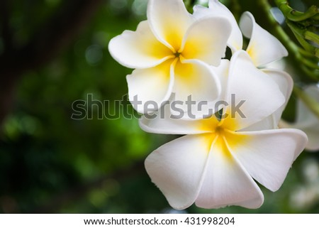 Flowers. White flowers background. White  plumeria flowers. Flowers on a tree. Flowers for spa. Beautiful flowers. Close up of fresh white flowers - stock photo