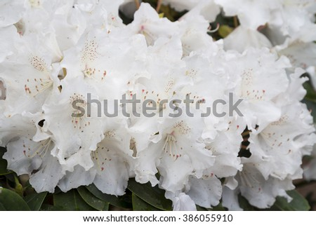 Flowers white rhododendron (RHODODENDRON YAKUSHIMANUM) in the  Minsk a botanical garden, Belarus. Selective focus with shallow depth of field. - stock photo