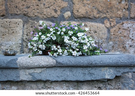 flowers  white  sassifragara in pots placed on a stone in a middle lane of Italy near Rome