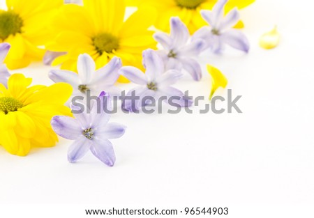 flowers yellow chrysanthemums and blue hyacinth on white background - stock photo