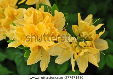 Flowers yellow rhododendron in the park - stock photo