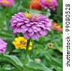 Flowers Zinnia with green leaves. Summer, Central Russia - stock photo