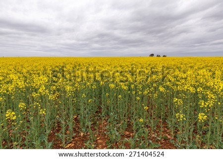 Flowery field of Rapeseed and gray sky. Brassica napus. - stock photo