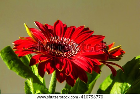 Flowery gerbera flower in sunny colors. - stock photo