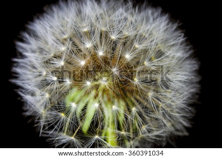 fluff of a dandelion in close up - stock photo