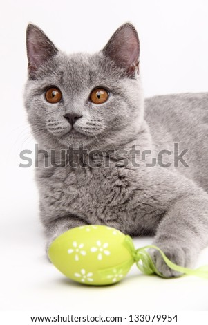 Fluffy beautiful domestic gray or blue British short hair cat/British breed of cat with straight ears - stock photo