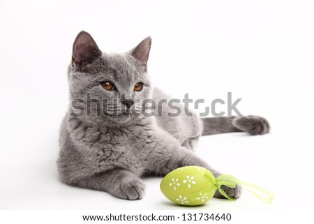 Fluffy beautiful domestic gray or blue British short hair cat with yellow eyes/Cat playing with colored Easter egg - stock photo