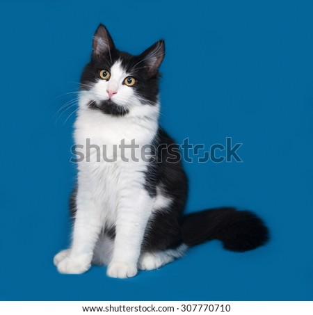 Fluffy black and white cat sitting on blue background - stock photo
