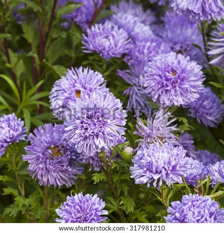 Fluffy blue asters on the field. Selective focus - stock photo