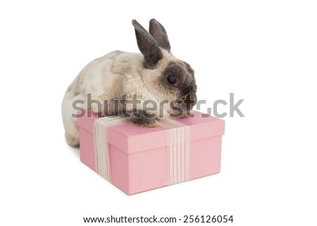 Fluffy bunny with pink gift box over white background