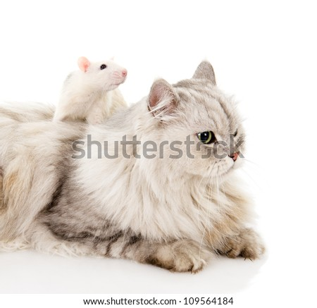 Fluffy cat and  rat. isolated on white background - stock photo
