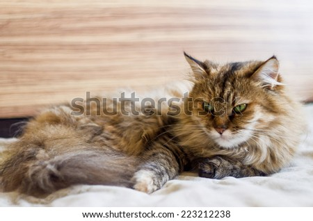 Fluffy cat is lying on the bed