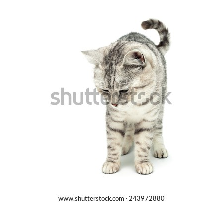 fluffy cat standing isolated on white background. horizontal photo.