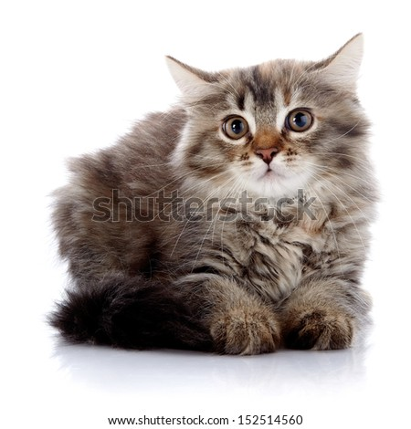 Fluffy cat. Striped not purebred kitten. Kitten on a white background. Small predator. Small cat.