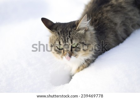 fluffy cat walks in the snow