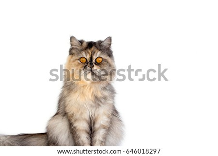 Fluffy cat with yellow eyes isolated.