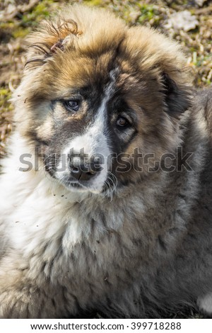 Fluffy Caucasian shepherd dog  - stock photo