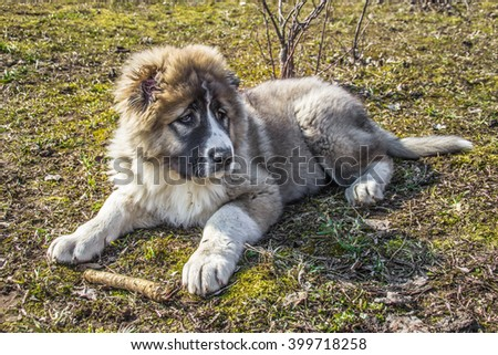 Fluffy Caucasian shepherd dog is lying on the ground and gnawing - stock photo