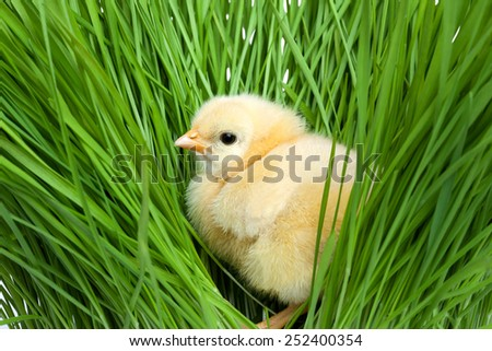 Fluffy chick on green grass - stock photo