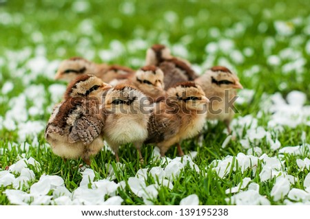 fluffy chickens on the grass