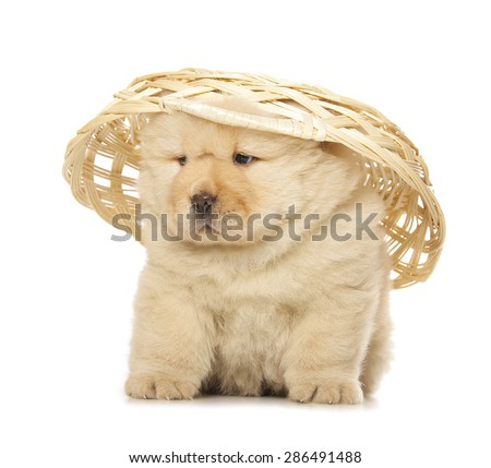 fluffy chow-chow puppy isolated on white background - stock photo