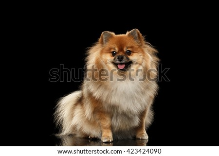 Fluffy Cute Red Pomeranian Spitz Dog Sitting and Looking in Camera isolated on Black Background, Front view - stock photo
