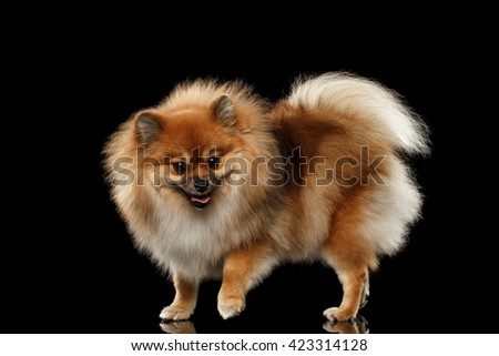Fluffy Cute Red Pomeranian Spitz Dog Standing isolated on Black Background in Front view - stock photo
