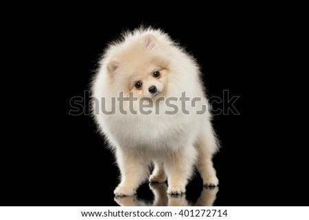 Fluffy Cute White Pomeranian Spitz Dog Standing and Curiously Looking isolated on Black Background in Front view - stock photo